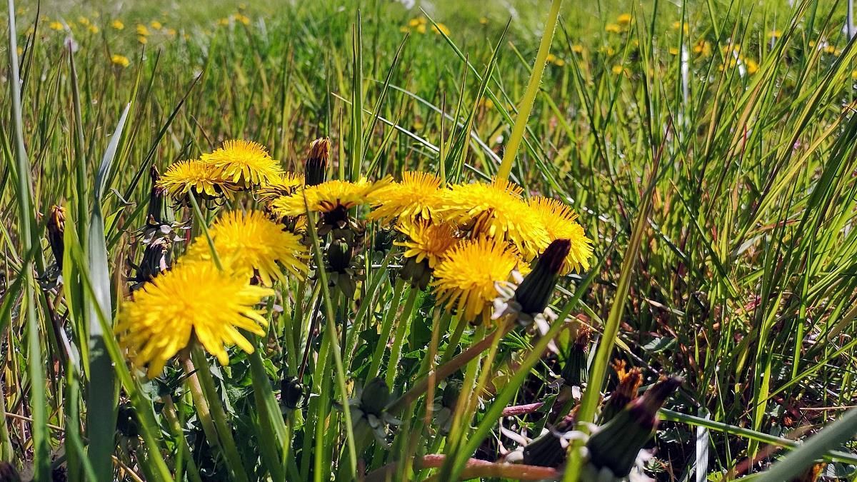 Gelbe Löwenzahnblüten auf einer Wiese